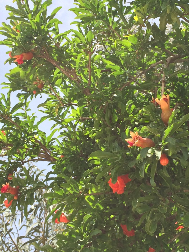pomegranate blossoms